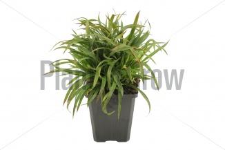 Luzula pilosa 'Igel' | Ruige veldbies (pot 9x9cm)
