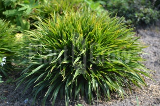 Luzula pilosa 'Igel' | Ruige veldbies
