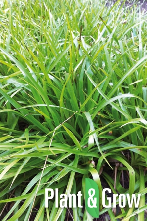 Luzula sylvatica | Grote veldbies