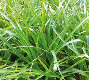 Luzula sylvatica Grote veldbies