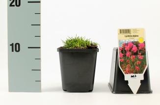 Lychnis alpina 'Rosea' | Koekoeksbloem (pot 9x9cm)