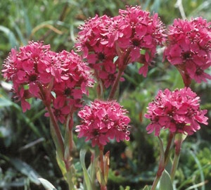 Lychnis alpina 'Rosea' Koekoeksbloem
