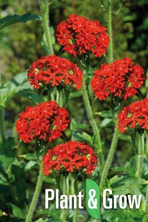 Lychnis chalcedonica | Brandende liefde
