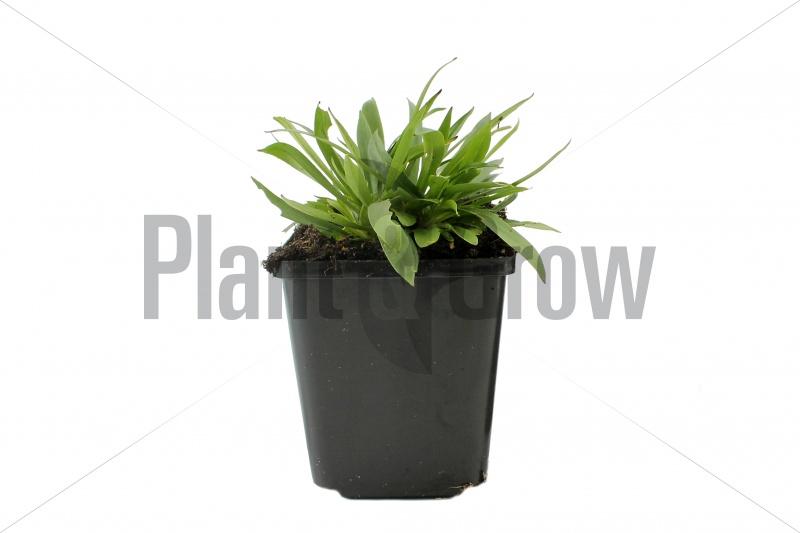Lychnis viscaria 'Splendens' | Pekanjer (pot 9x9cm) - VOORJAAR