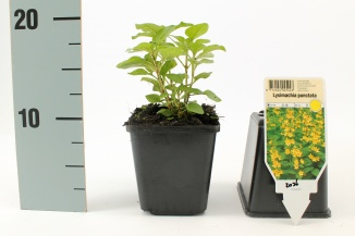 Lysimachia punctata | Puntwederik (pot 9x9cm)