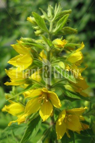 Lysimachia punctata | Puntwederik