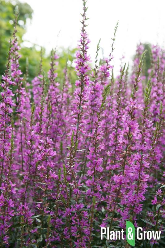 Lythrum salicaria | Grote kattenstaart