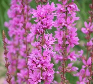 Lythrum salicaria 'Robert' Kattenstaart