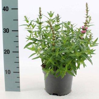 Lythrum salicaria 'Robert' | Kattenstaart (Ø 17cm pot)