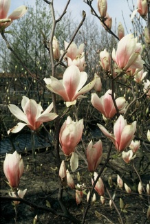 Magnolia soulangeana | Beverboom