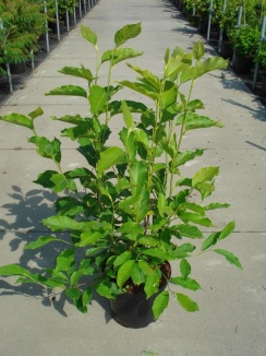 Magnolia soulangeana | Beverboom (12L pot)