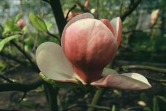 Magnolia soulangeana 'Lennei' | Beverboom