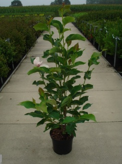Magnolia soulangeana 'Lennei' | Beverboom (12L pot)
