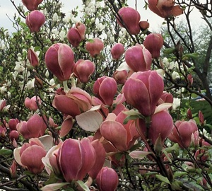 Magnolia soulangeana 'Lennei' Beverboom