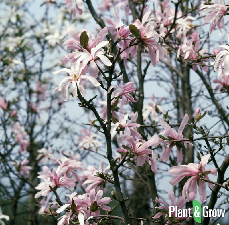 Magnolia stellata 'Rosea' | Stermagnolia
