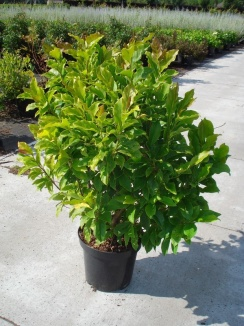 Magnolia stellata 'Rosea' | Stermagnolia (12L pot)