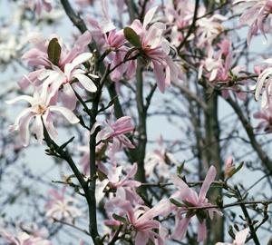 Magnolia stellata 'Rosea' Stermagnolia