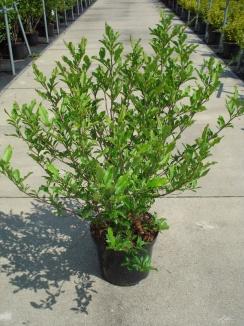 Magnolia stellata | Stermagnolia (12L pot)