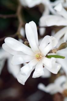 Magnolia stellata | Stermagnolia