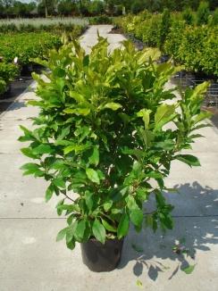 Magnolia 'Susan' | Valse tulpenboom (12L pot)