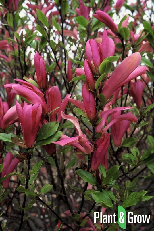 Magnolia 'Susan' | Valse tulpenboom