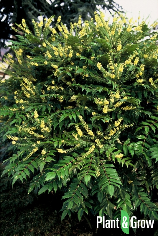 Mahonia media 'Winter Sun' | Mahoniestruik