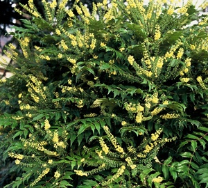 Mahonia media 'Winter Sun' Mahoniestruik
