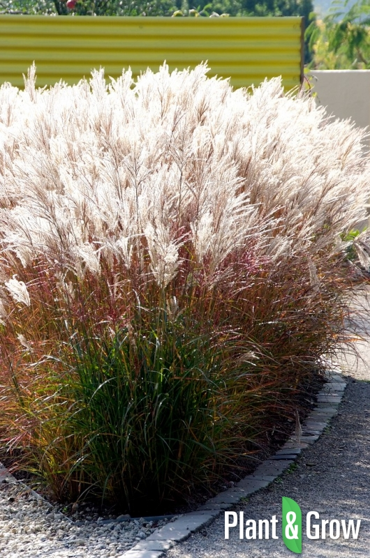 miscanthus sinensis 39 ferner osten 39 kopen plant grow. Black Bedroom Furniture Sets. Home Design Ideas