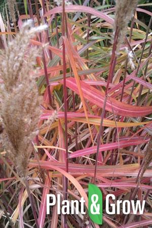 Miscanthus sinensis 'Ghana' | Prachtriet