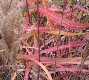 Miscanthus sinensis 'Ghana' Prachtriet