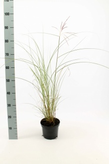 Miscanthus sinensis 'Gracillimus' | Prachtriet (Ø 17cm pot)
