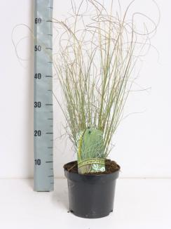 Miscanthus sinensis 'Morning Light'   Chinees riet (Ø 17cm pot)
