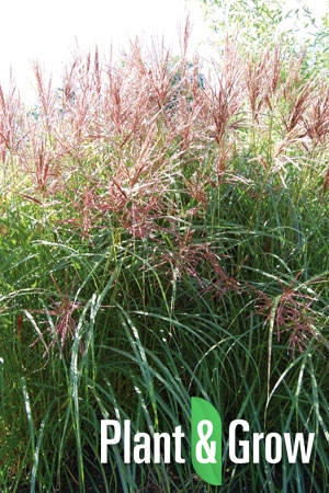 miscanthus sinensis 39 silberfeder 39 kopen plant grow. Black Bedroom Furniture Sets. Home Design Ideas