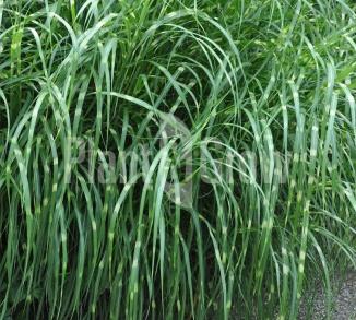 Miscanthus sinensis 'Strictus' Prachtriet