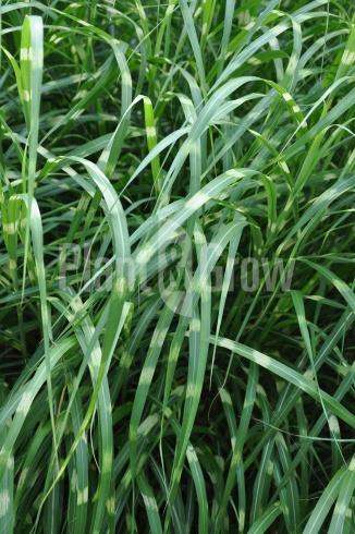 Miscanthus sinensis 'Strictus' | Prachtriet