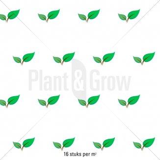 Plantafstand | Mitchella repens (pot 9x9 cm)