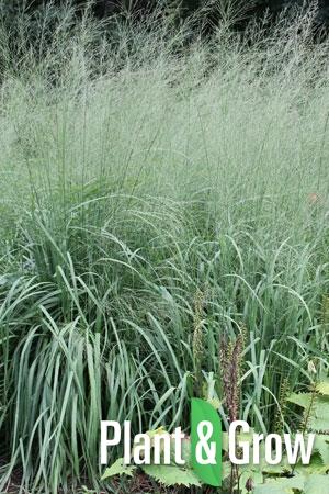 Molinia caerulea 'Transparant' | Pijpestrootje