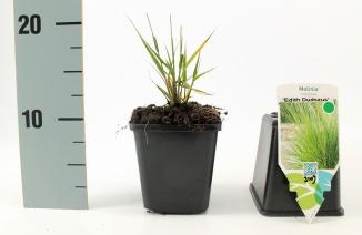 Molinia caerulea 'Edith Dudszus' | Pijpestrootje (pot 9x9cm)
