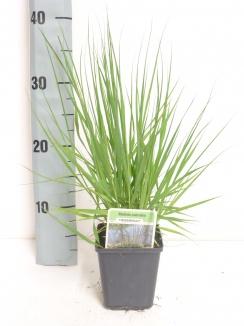 Molinia caerulea 'Heidebraut' | Pijpestrootje (pot 9x9cm)