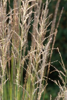 Molinia caerulea 'Moorhexe' | Pijpestrootje