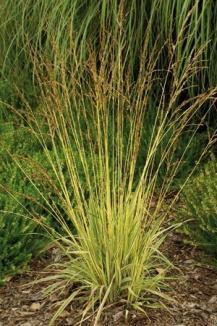 Molinia caerulea 'Variegata' | Pijpestrootje