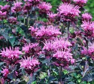 Monarda 'Beauty of Cobham' Bergamotplant