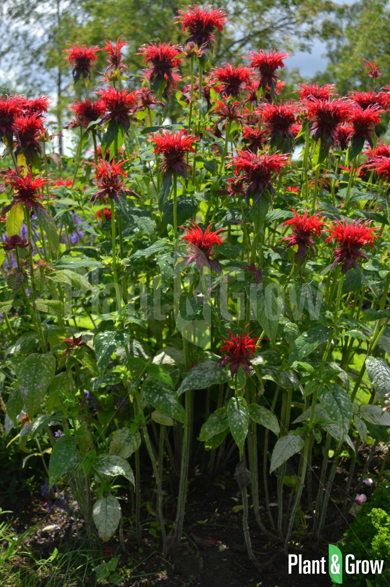 Monarda 'Cambridge Scarlet'