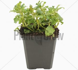 Monarda 'Cambridge Scarlet' | Bergamotplant (pot 9x9cm)