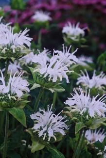Monarda 'Schneewittchen'   Bergamotplant