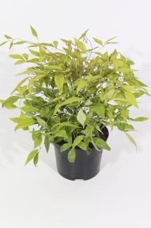 Nandina domestica 'Firepower' | Hemelse bamboe (Ø 17cm pot)