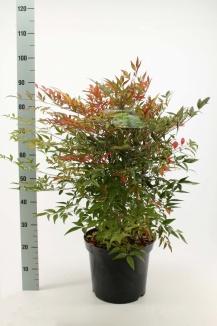 Nandina domestica | Hemelse Bamboe (12L pot)