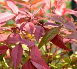 Nandina domestica Hemelse bamboe