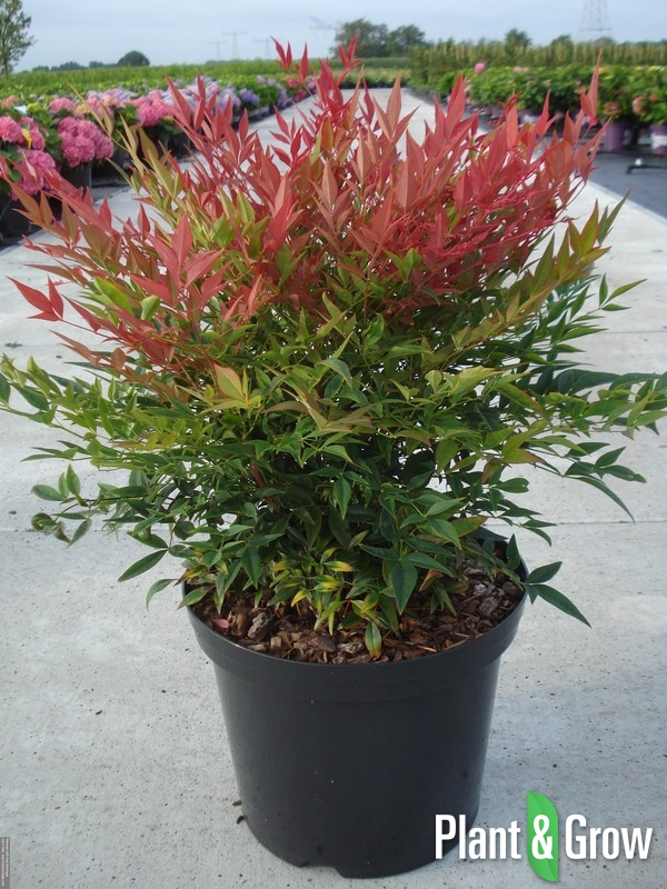 Nandina domestica 'Obsessed' | Hemelse bamboe (12L pot)