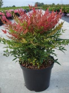 Nandina domestica 'Obsessed' Hemelse bamboe